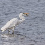 Great White Egret fishing on Kallino Bay Hotel Beach