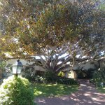 This is a Moreton Bay Fig tree - one of the largest in Montecito. It's massive.