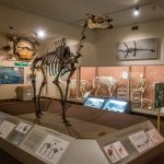 Giant camel, 3M YA. Two-thirds of all known camel species lived in Nebraska!