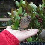 Tame sparrows in the garden