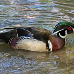 Wood duck on the lake.