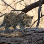 Seeing this four-month old Leopard cub was one of the highlights y stay