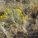 Gray Rabbitbrush in bloom