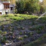 Cabbage plantation in kitchen garden