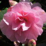 Rhododendrons - Rosa