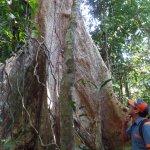 Un tipo de arbol de la selva Shihuahuaco