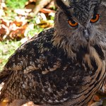 Female European Eagle owl