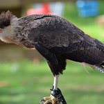 SID the Crested Caracara