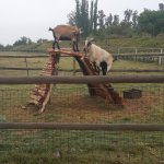 goats - daily exercise routine :)
