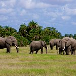 amboseli National Park is home to the biggest herds of Elephants in Kenya