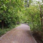 Lane of Hibiscus trees