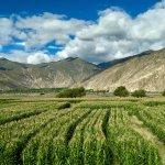 Tibetan corn fields nestled beneath majestic mountains.