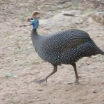 Guinea fowl strutting around.