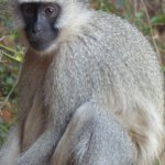 Cheeky vervet monkey.