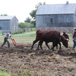 Ploughing the fields with oxen on our working 19th-century farm.