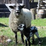 Spring brings new lambs into our flock of Hog Island sheep.