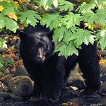 Was so special to see this black bear fishing for salmon and bulking up for hibernation!