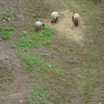 Sheep grazing in the moat