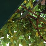Grape vines on dining balcony