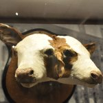 one of the stranger displays--a two-headed calf