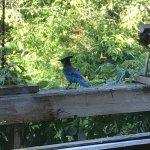 Steller's Jay at the window feeder