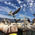 Pelicans on the dredge visible in the harbor from Stearn's. Wharf