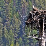 saw this same nest in 2012. The osprey was busy preening and I had to do a pretty good zoom for