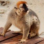 Resident Lemur