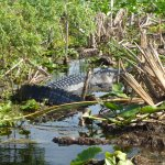 A large gator seen on our 30 minute tour