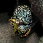 A spotted eel getting a tooth cleaning
