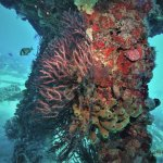 Coral scene at Belzona Barge (45 ft.) wreck