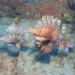 Invasive Lionfish which can be pole speared off our reef