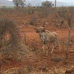 Kudu! My FAVORITE of the non-predators. (The animal on the Nhongo Safaris logo).