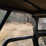 Our last of the Big 5 - Lions! This is 1 of 12 that crossed the road right in front of our vehic