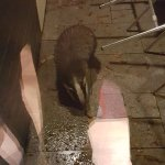 Badger comes to visit