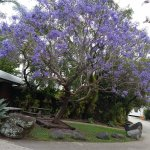Gorgeous jacaranda ne reception. Lively tropical  gardens & birds