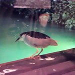 The Night Heron