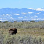 Bison with a beautiful backdrop.