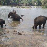 Dubare Elephant bathing in Kauvery
