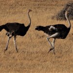Ostriches on the 'Sundowner' game drive