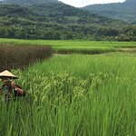 How to know if the rice grain is ripe