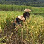 I participated in the harvesting the rice with a sickle.