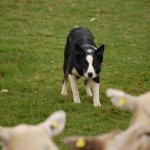 Sheepdogs must be able to control the sheep. I love the intensity on this dog's face