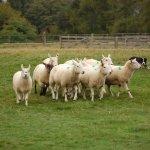 Amazing display of herding skills