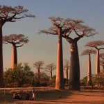 alley of baobab morondava