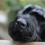 Calypso the Giant Schnauzer. The dogs are part of the charm!