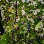 Under the Vines.
