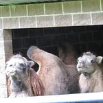 Being watch by the camels