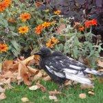Regent's Park raven