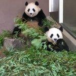 もうすぐ3歳の双子のパンダ 両親に似てとてもかわいいです。
